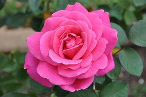 640px-Pink_Peace_YR.AARS1974_Hybrid_Tea_003