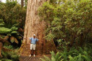 Giant-Eucalyptus-Trees-of-Tasmania