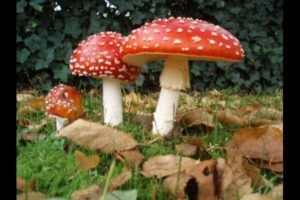 Amanita-muscaria-picture