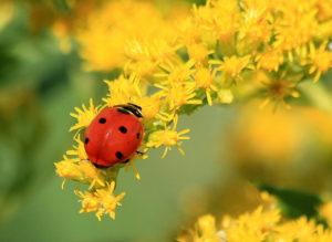 Ladybug_5