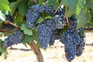 1344078193_423731622_1--www-grapesforwinexristosdomgr-