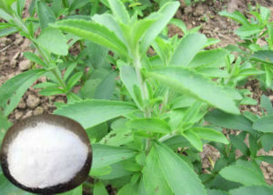 stevia_dry_leaves_extract