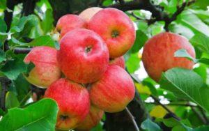 amasya-elması