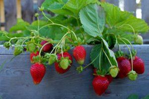 strawberries-thumb-large